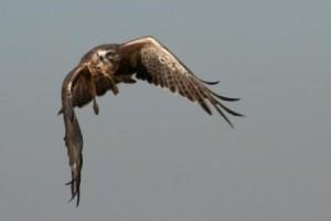 Swainson's Hawk by Rick Gumina