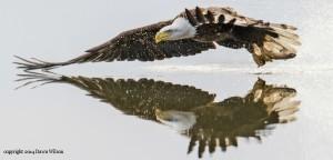 Bald Eagle by Dawn Wilson