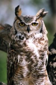RMRP Educational Great Horned Owl