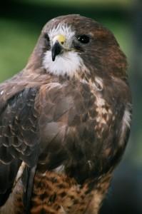 Swainson's Hawk (1)