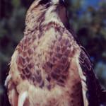 Swainson's Hawk (3)