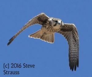 Strauss Prairie Falcon