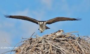 fuller osprey