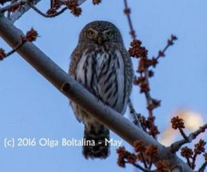 Boltalina_Pygmy Owl