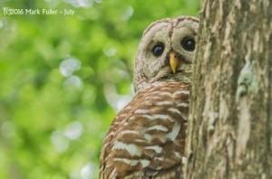 fuller barred owl